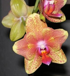 Consejos para podar orquídeas