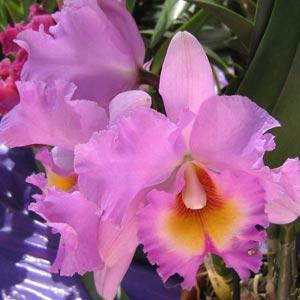 Flores Orquídeas